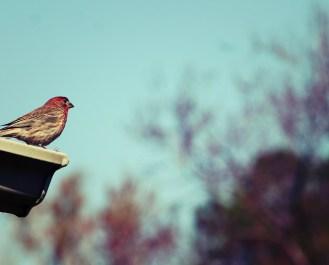 DelightinginHimBlog-RedBirdAgainstTreesandSky
