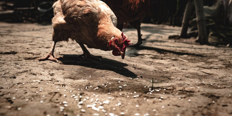 Complete Chicken Feed Guide