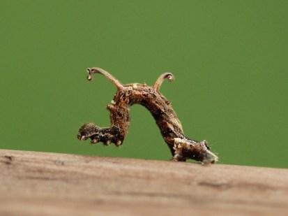 Twig-like Caterpillars 079 - Copy