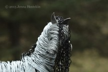 Andalusian 13