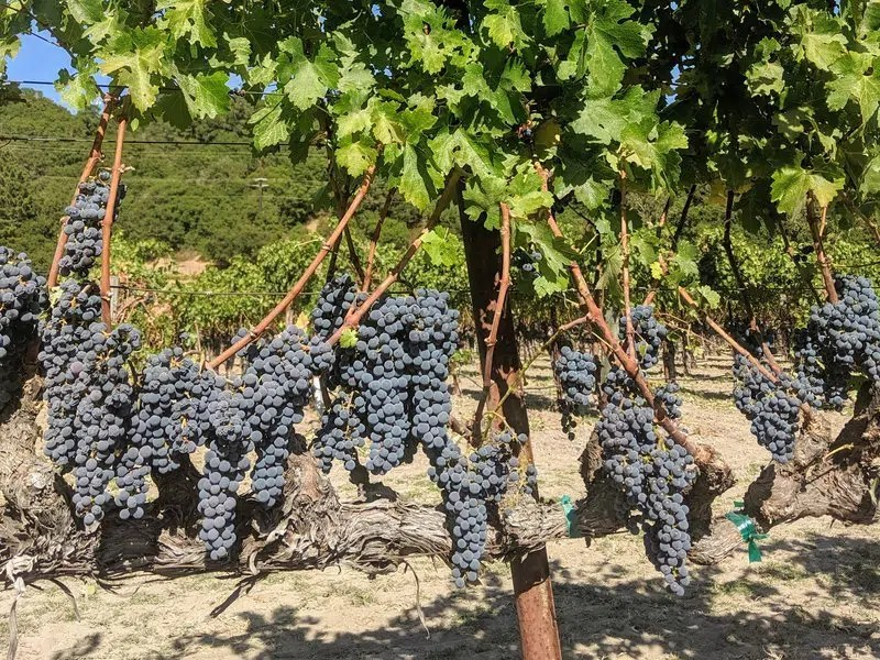 California Kings: Why Cabernet Sauvignon Reigns in California