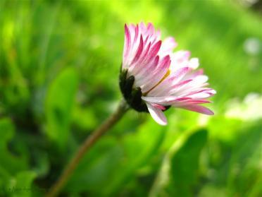 daisy © Annie Japaud Photography