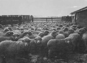 Sheep_Shed