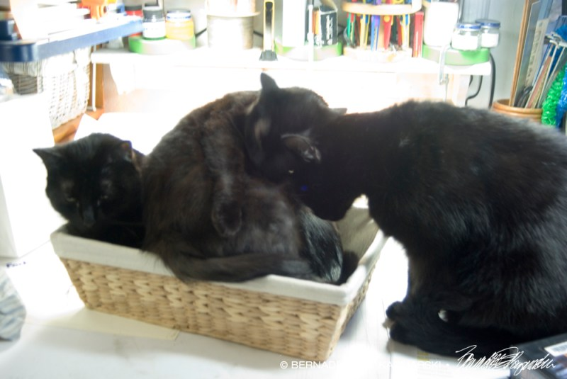 three black cats in basket