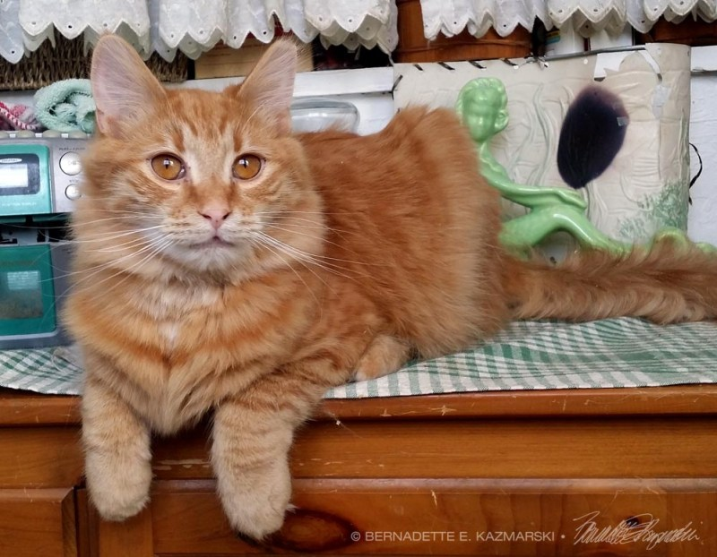 long-haired orange cat