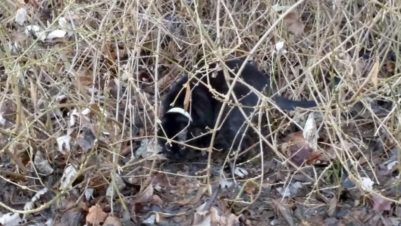 black cat in forsythia