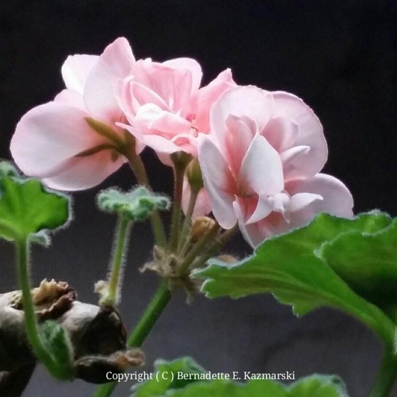 The pink geranium.