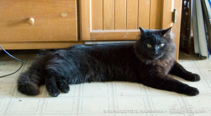 black long-haired kitten
