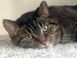 tabby cat