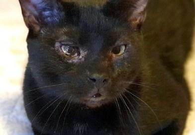 black cat for adoption