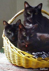 Three seriously cute housepanthers