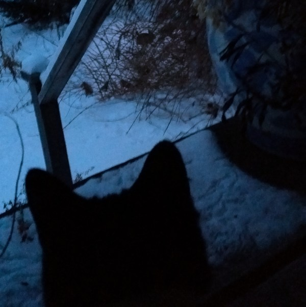 cat watches the rabbit in the snow under the forsythia.