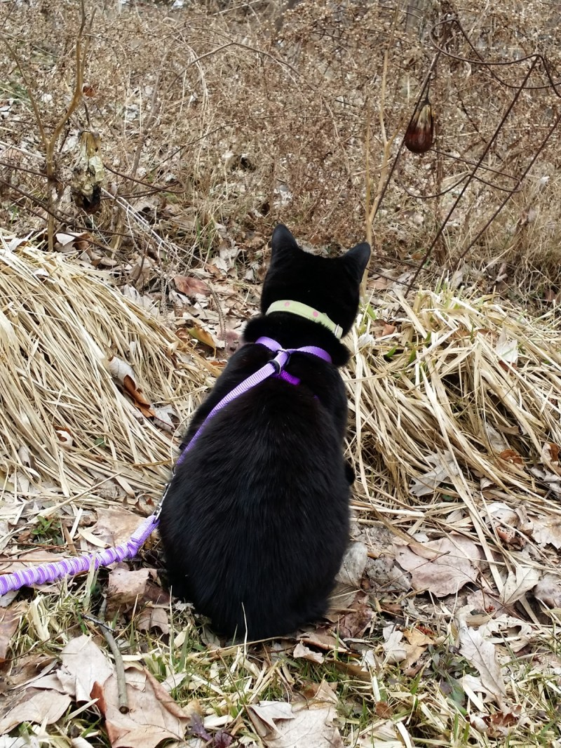 black cat looking into garden
