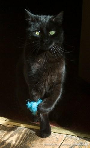 black cat wit blue fuzzy toy