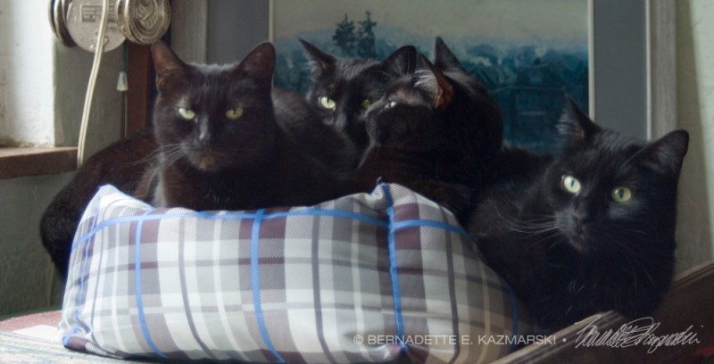 foru black cats in cat bed