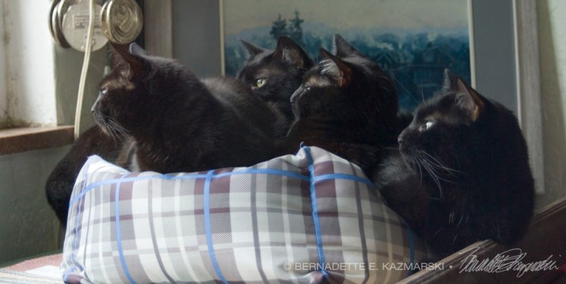four black cats in bed