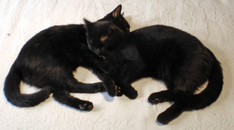two black kittens on bed
