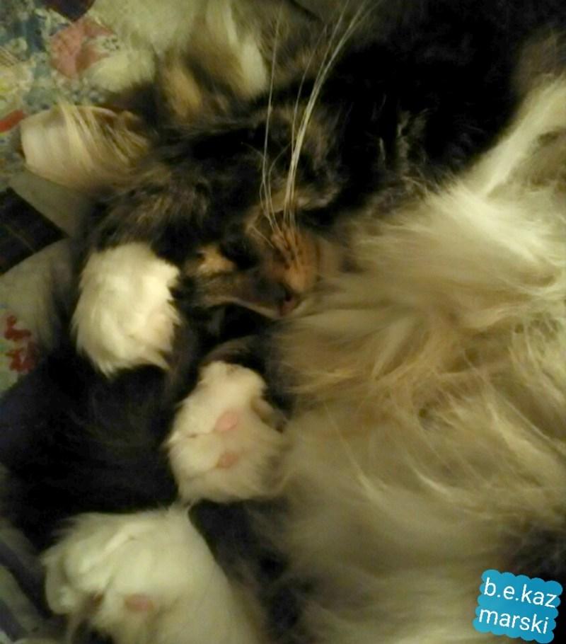 fluffy cat sleeping
