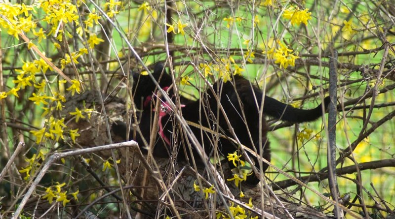 Mimi is well-hidden in the forsythia.