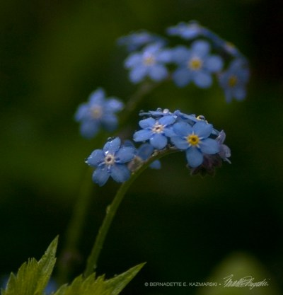 The forget-me-nots are beginning to bloom in earnest and are especially dear.