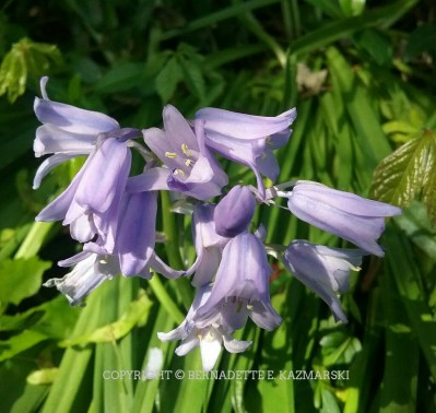 Wood hyacinths in the woodland garden.