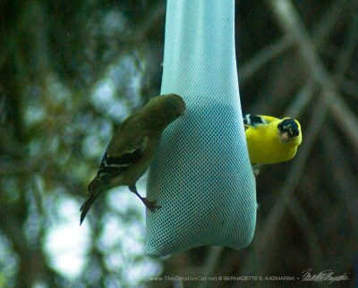 Date night for the goldfinches.