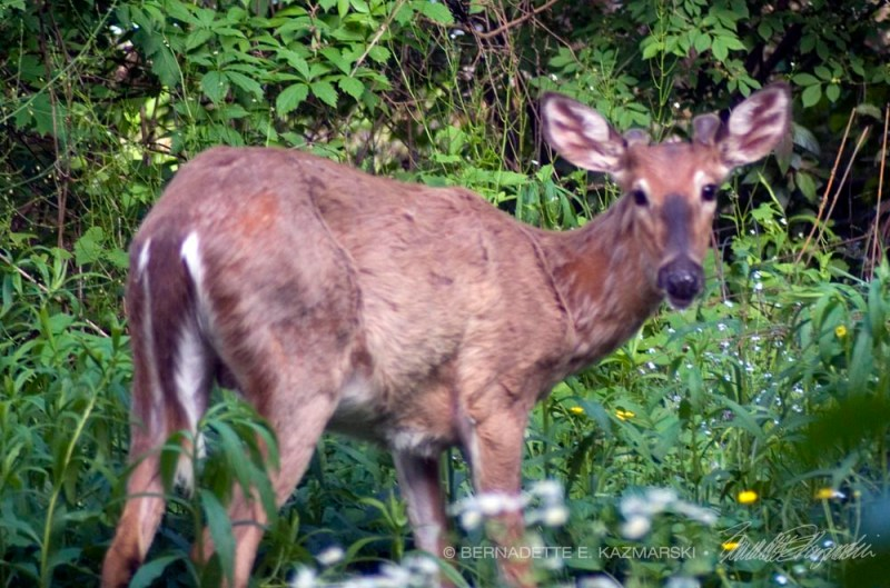 A buck sleeping in my back yard.