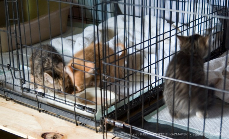 Kittens settling in the cages.