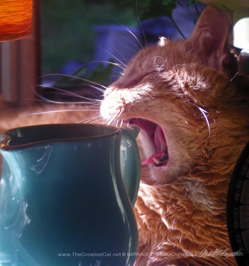 orange cat yawning
