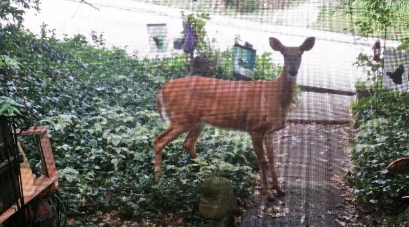 doe in front yard.