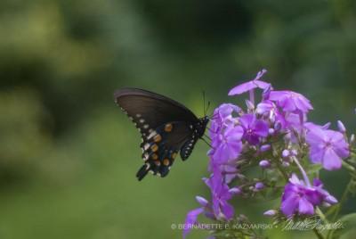 Tiger Swallowtail on Tall Phlox © Bernadette E. Kazmarski