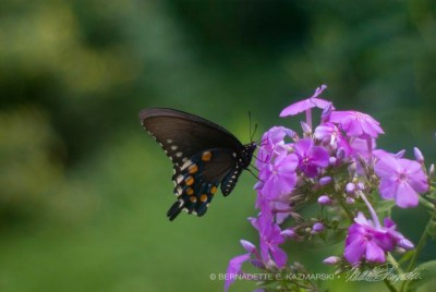Tiger Swallowtail on Tall Phlox © Bernadette E. Kazmarski