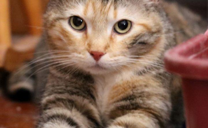 tabico cat for adoption