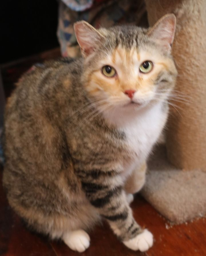 tabico cat for adoption