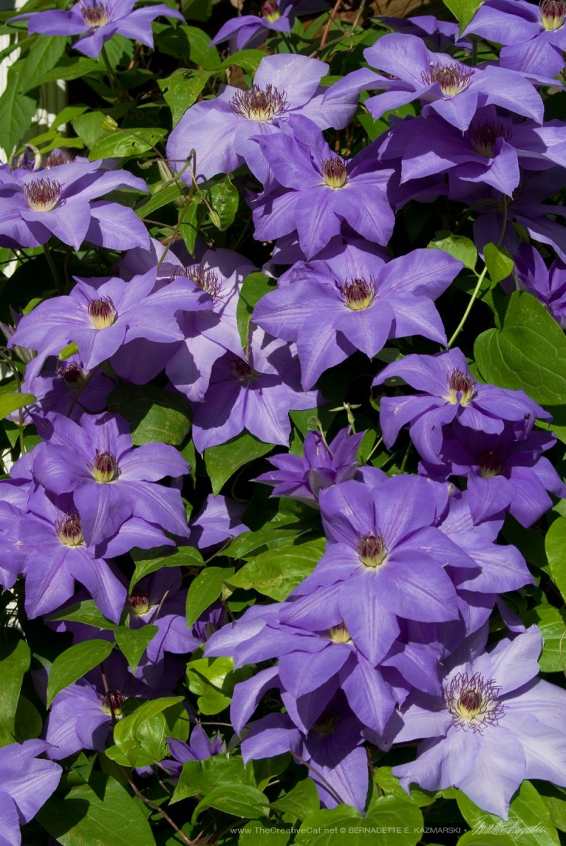 The full display of clematis. It was breathtaking.