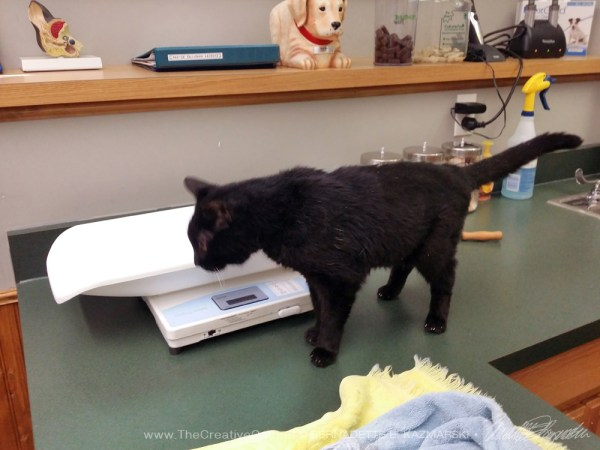 black cat on exam table
