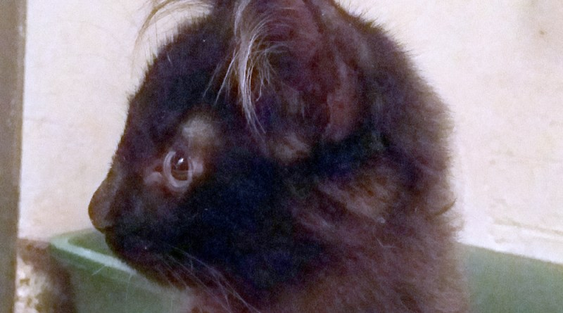 long-haired black kitten