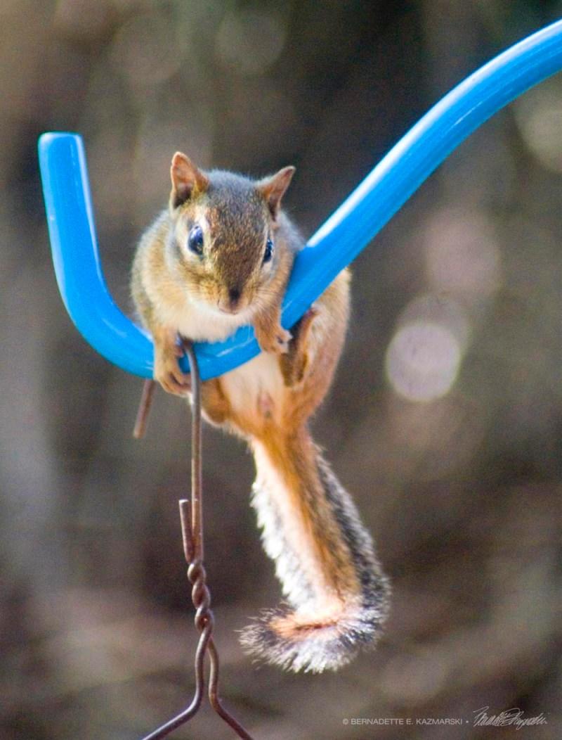 The chipmunk plans her attack on the bird feeder.