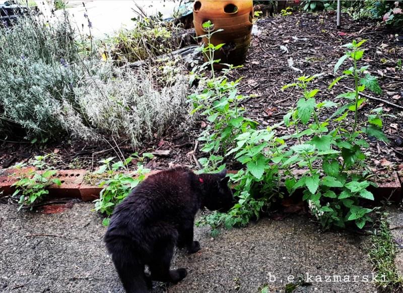Mimi samples her catnip smorgasbord.