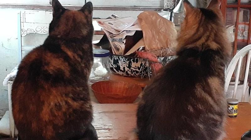 tortoiseshell cat and tabby and white cat