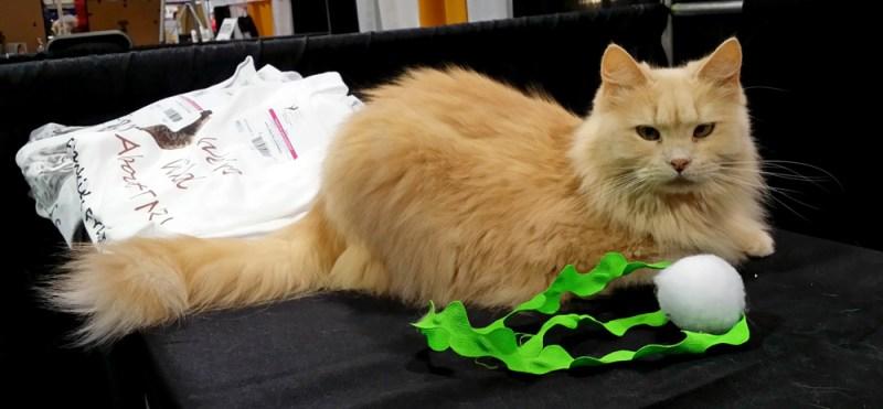 long-haired orange cat
