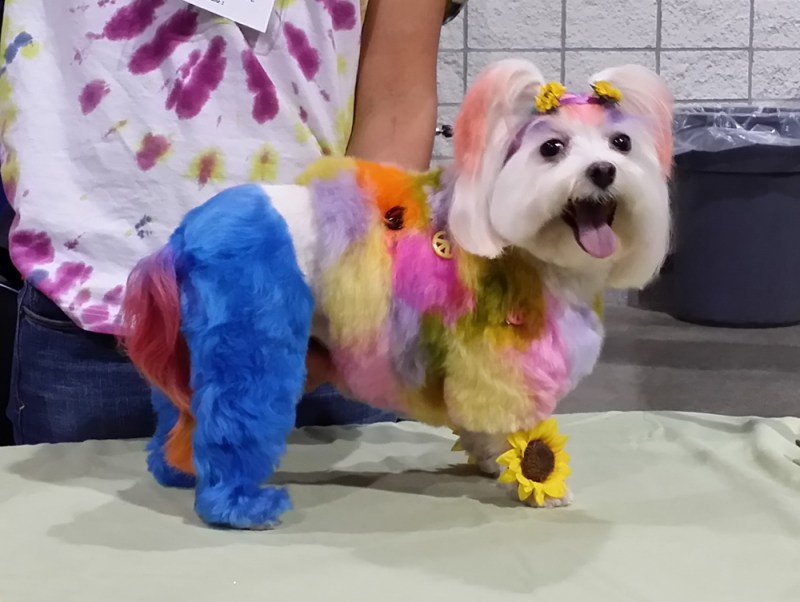 terrier with dyed fur