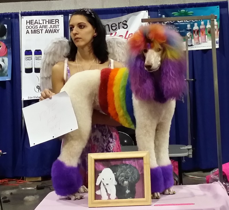 poodle in rainbow colors
