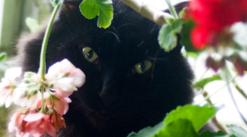 Basil in the geranium.