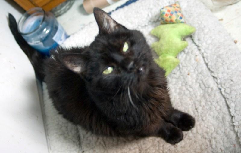 senior black cat