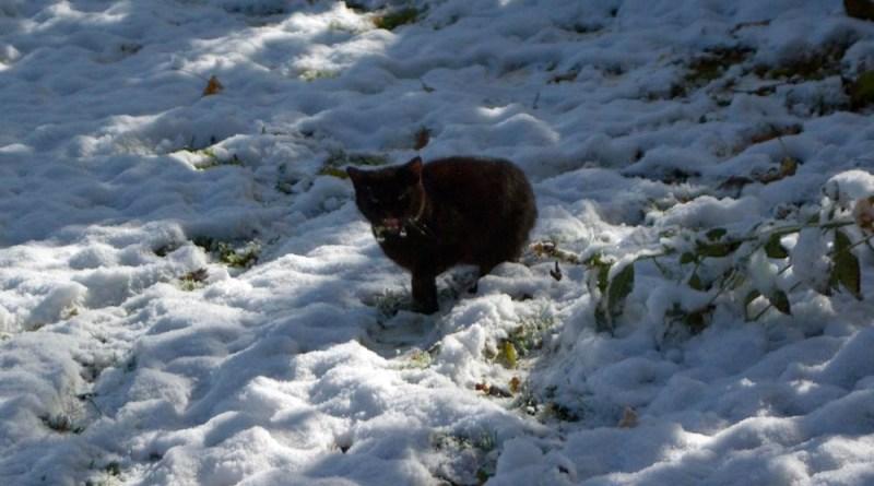 black cat in snow