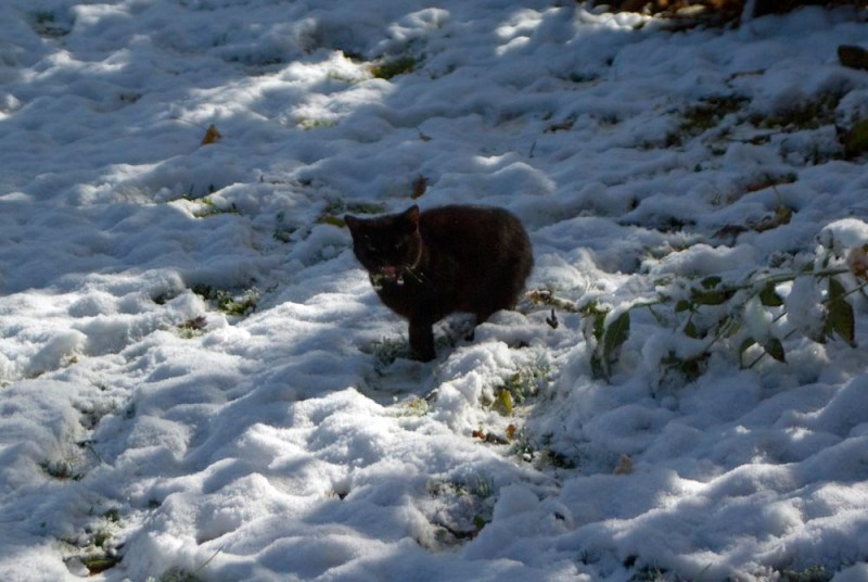black cat in snow