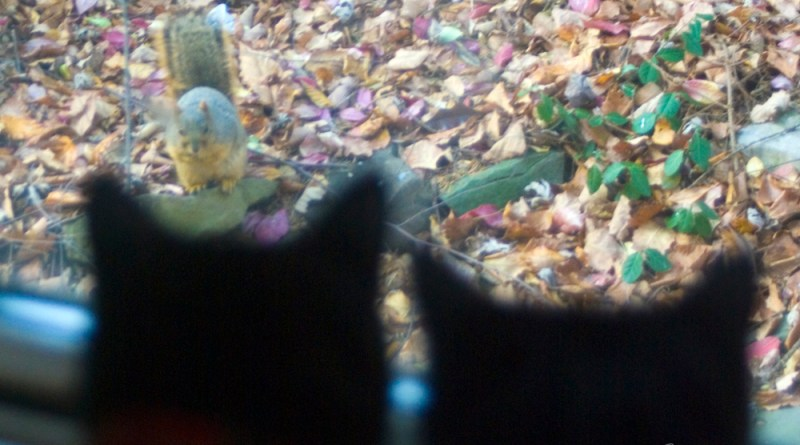 two black cats watching squirrel