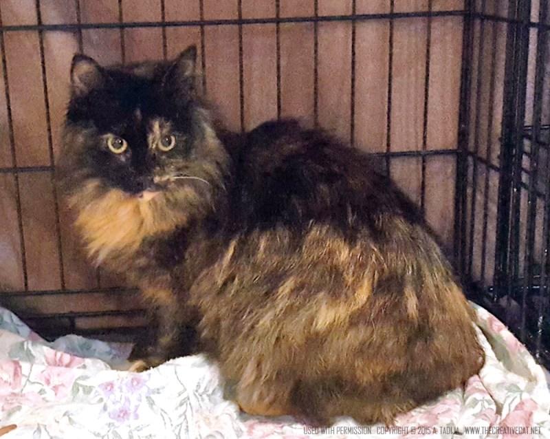 Jasmine's mom. tortoiseshell cat