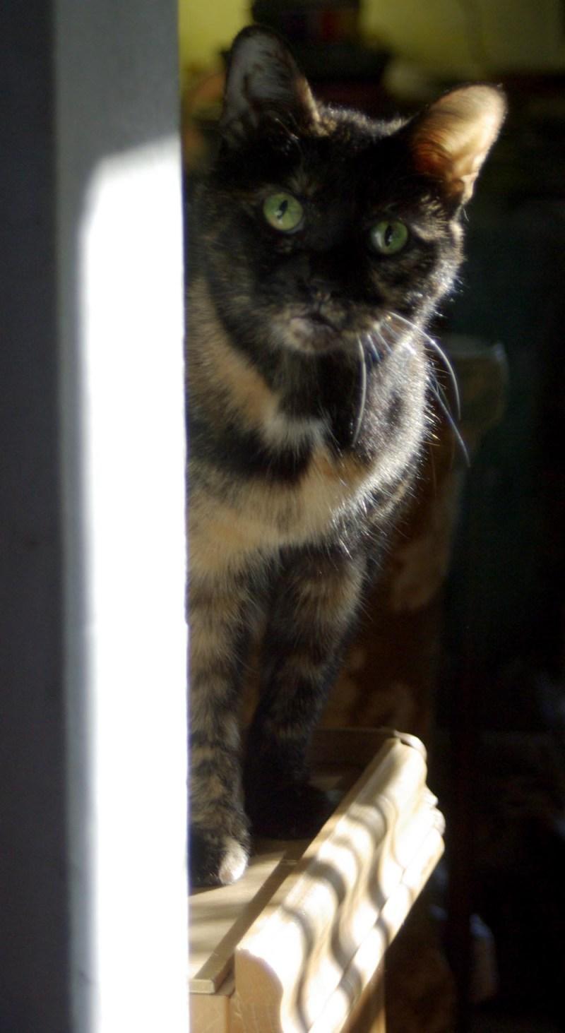 tortoiseshell cat peeking around corner